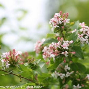 ABELIA SWEET EMOTION ABELIA HARDY