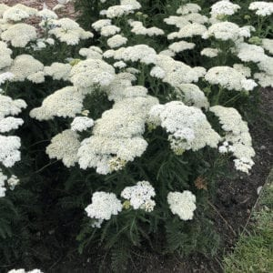ACHILLEA FIREFLY DIAMOND YARROW