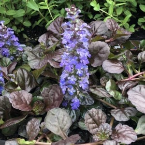 AJUGA BLACK SCALLOP BUGLEWEED