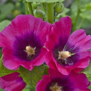 ALCEA HALO SERIES CERISE HOLLYHOCK