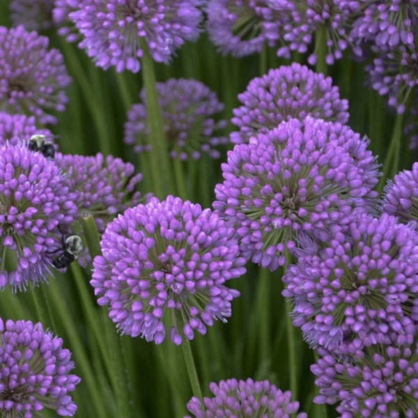 ALLIUM MILLENIUM ONION ORNAMENTAL