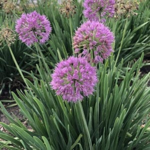 ALLIUM SERENDIPITY ORNAMENTAL ONION