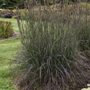 ANDROPOGON BLACKHAWKS BIG BLUESTEM