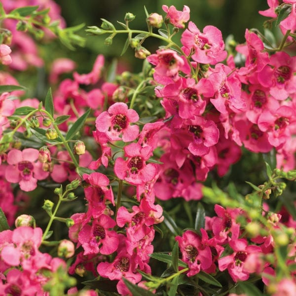 ANGELONIA ANGELFACE CASCADE PINK SUMMER SNAPDRAGON