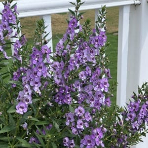 ANGELONIA ANGELFACE STEEL BLUE SUMMER SNAPDRAGON