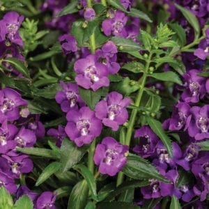 ANGELONIA ANGELFACE SUPER BLUE SUMMER SNAPDRAGON