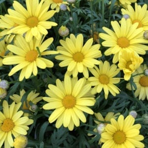 ARGYRANTHEMUM GOLDEN BUTTERFLY MARGUERITE DAISY