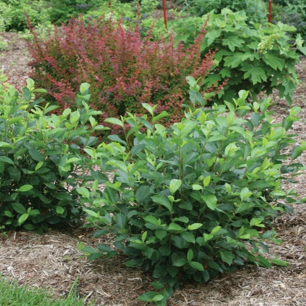 ARONIA LOW SCAPE HEDGER CHOKEBERRY