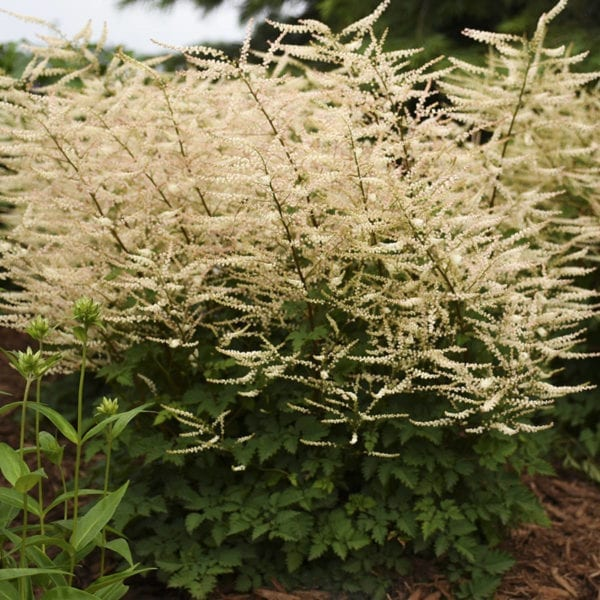 ARUNCUS CHANTILLY LACE GOATSBEARD