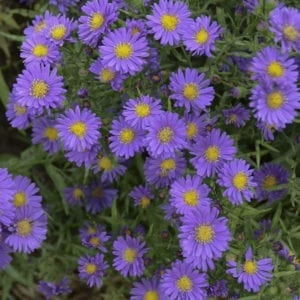 ASTER KICKIN LILAC BLUE HARDY ASTER