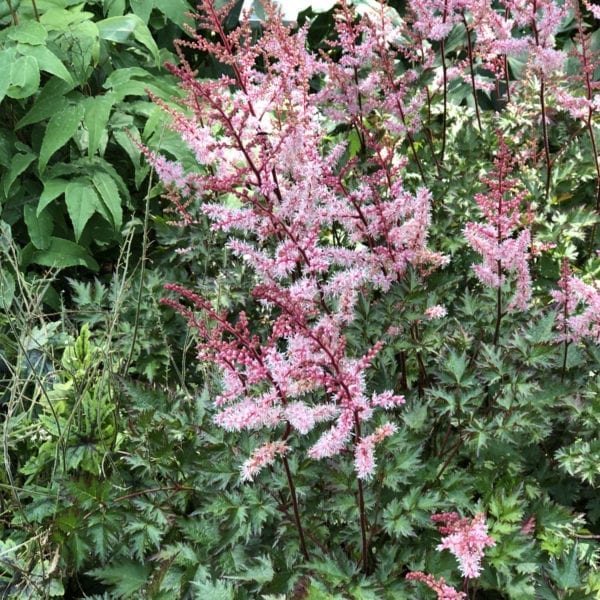 ASTILBE DELFT LACE FALSE SPIREA