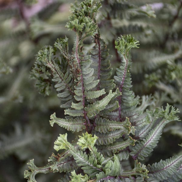 ATHYRIUM CRESTED SURF FERN