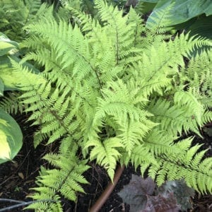 ATHYRIUM LADY IN RED FERN