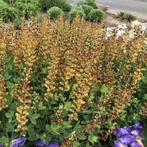 BAPTISIA DECADENCE CHERRIES JUBILEE FALSE INDIGO