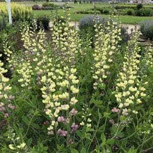 BAPTISIA DECADENCE DELUXE PINK LEMONADE FALSE INDIGO