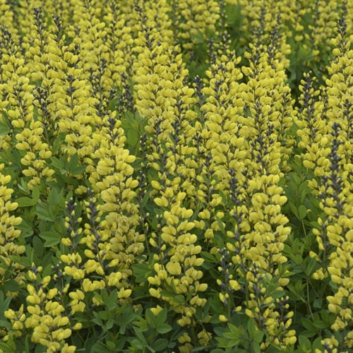 BAPTISIA DECADENCE LEMON MERINGUE FALSE INDIGO