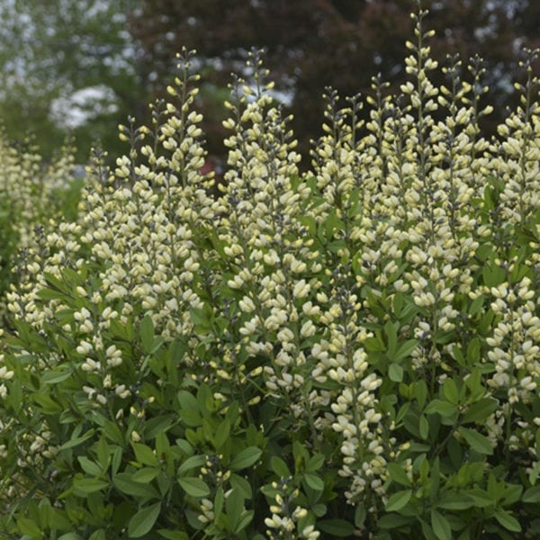 BAPTISIA DECADENCE VANILLA CREAM FALSE INDIGO