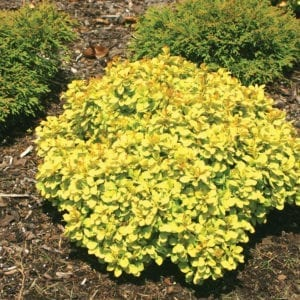 BERBERIS SUNJOY GOLD BERET BARBERRY