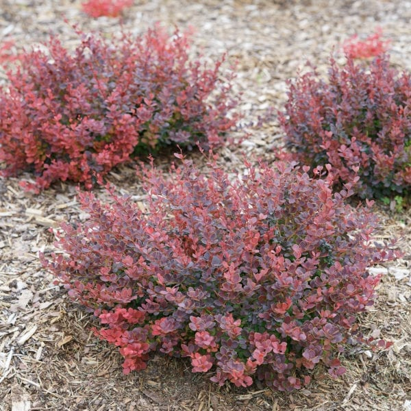 BERBERIS SUNJOY MINI MAROON SEEDLESS BARBERRY