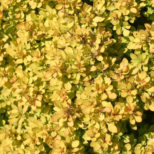 BERBERIS SUNJOY MINI SAFFRON BARBERRY