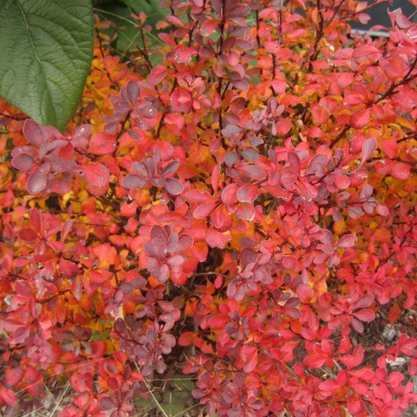 BERBERIS SUNJOY MINI SALSA BARBERRY