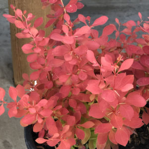 BERBERIS SUNJOY NEO BARBERRY