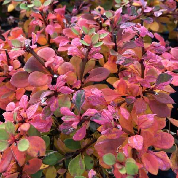 BERBERIS SUNJOY SEQUINS BARBERRY