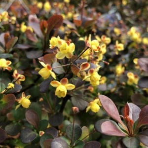 BERBERIS SUNJOY TODO BARBERRY