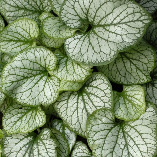 BRUNNERA JACK FROST HEARTLEAF BRUNNERA