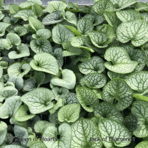 BRUNNERA QUEEN OF HEARTS HEARTLEAF BRUNNERA