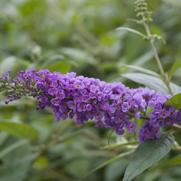 BUDDLEIA LO AND BEHOLD BLUE CHIP BUTTERFLY BUSH