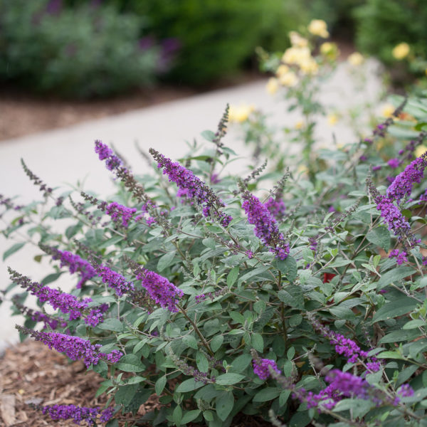BUDDLEIA LO AND BEHOLD BLUE CHIP JR BUTTERFLY BUSH