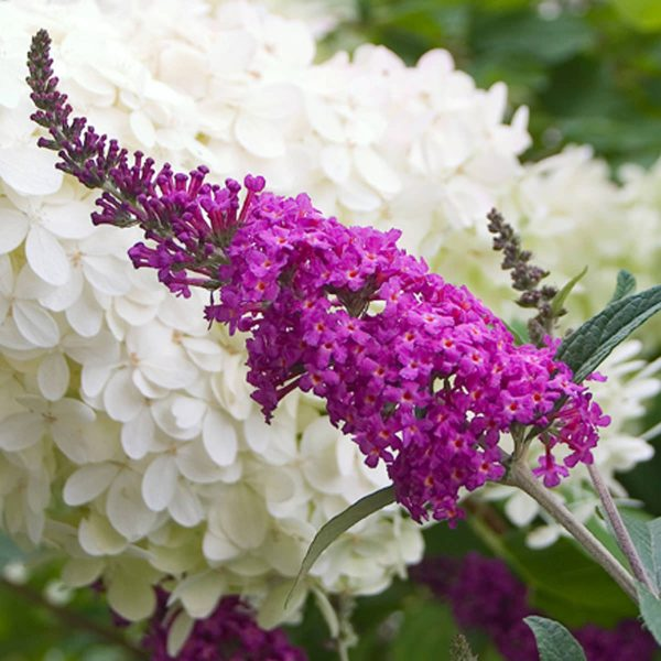 BUDDLEIA MISS RUBY BUTTERFLY BUSH