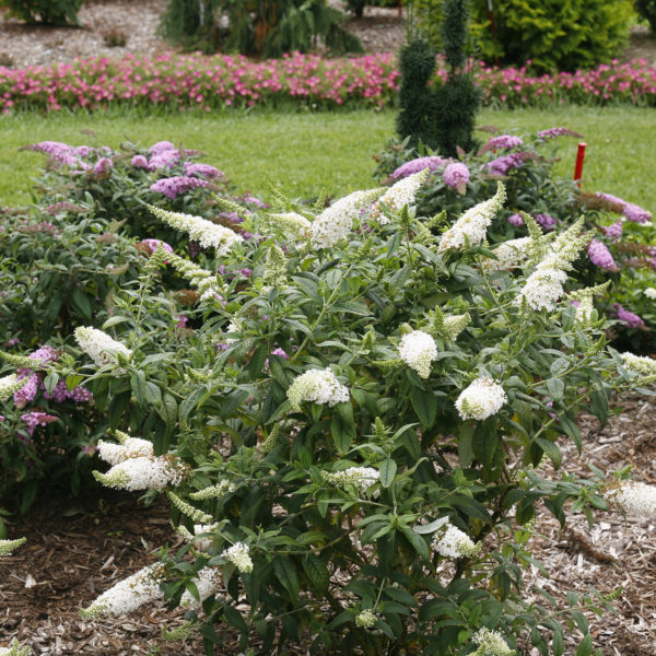 BUDDLEIA PUGSTER WHITE BUTTERFLY BUSH