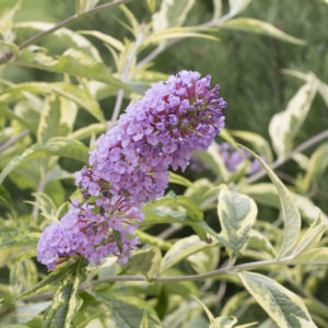 BUDDLEIA SUMMER SKIES BUTTERFLY BUSH