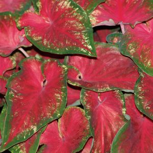 CALADIUM HEART TO HEART HEARTS DELIGHT STRAP LEAF CALADIUM