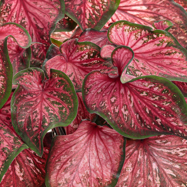CALADIUM HEART TO HEART SCARLET FLAME STRAP LEAF CALADIUM