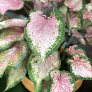 CALADIUM HEART TO HEART VA VA VIOLET STRAP LEAF CALADIUM