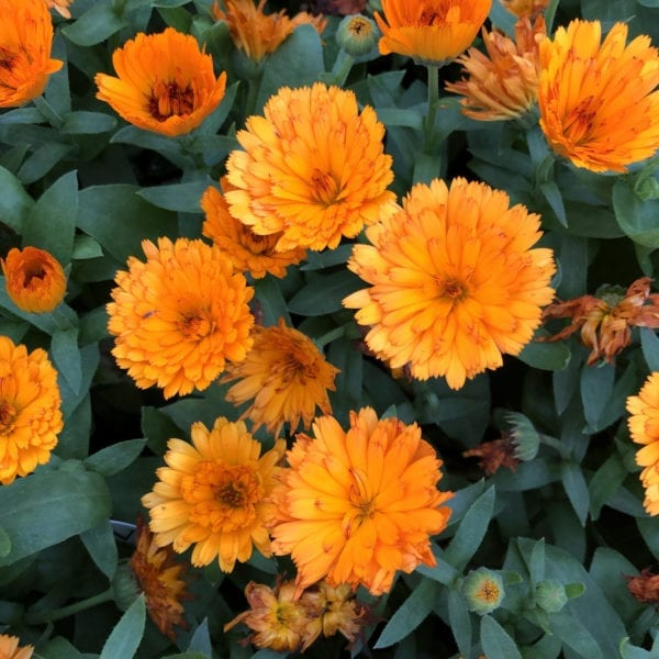 CALENDULA LADY GODIVA ORANGE ENGLISH MARIGOLD