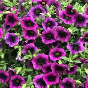 CALIBRACHOA SUPERBELLS BLACKCURRANT PUNCH MILLIONBELLS