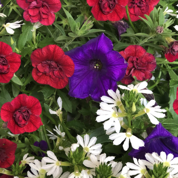 CALIBRACHOA SUPERBELLS DOUBLE RUBY MILLIONBELLS