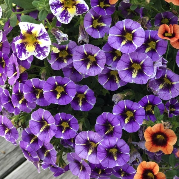 CALIBRACHOA SUPERBELLS EVENING STAR MILLIONBELLS