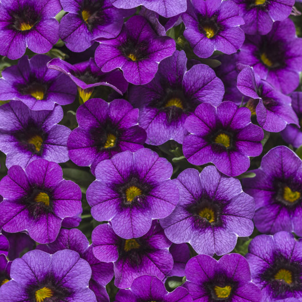 CALIBRACHOA SUPERBELLS GRAPE PUNCH MILLIONBELLS