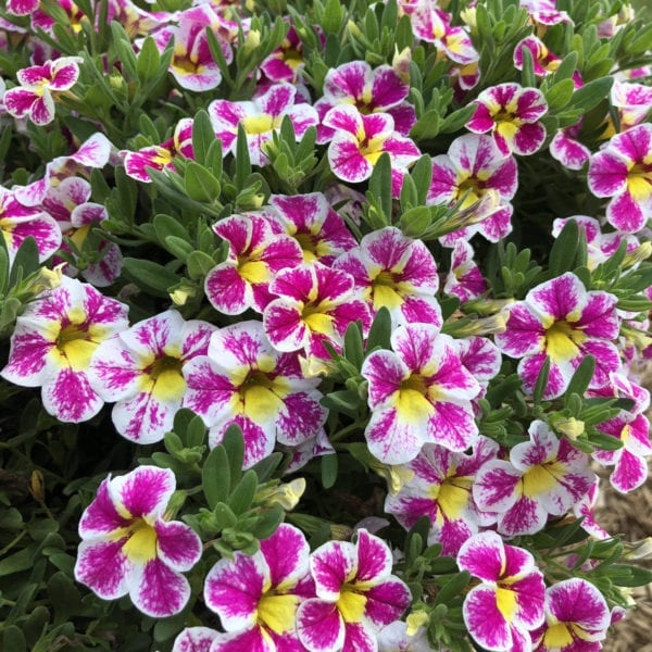 CALIBRACHOA SUPERBELLS HOLY COW MILLIONBELLS