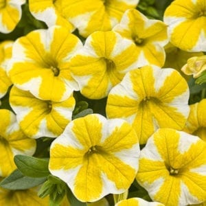 CALIBRACHOA SUPERBELLS LEMON SLICE MILLIONBELLS