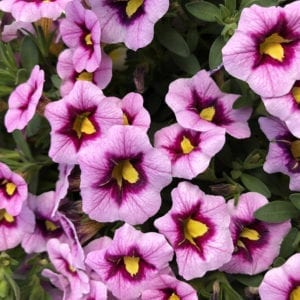 CALIBRACHOA SUPERBELLS MORNING STAR MILLIONBELLS
