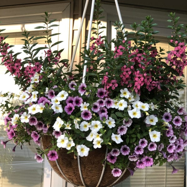 CALIBRACHOA SUPERBELLS OVER EASY MILLIONBELLS