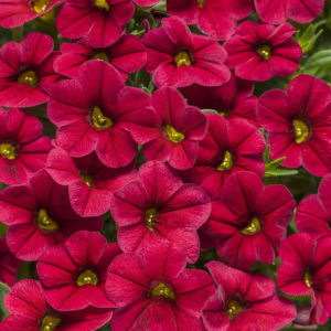 CALIBRACHOA SUPERBELLS RED MILLIONBELLS