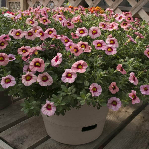 CALIBRACHOA SUPERBELLS STRAWBERRY PUNCH MILLIONBELLS
