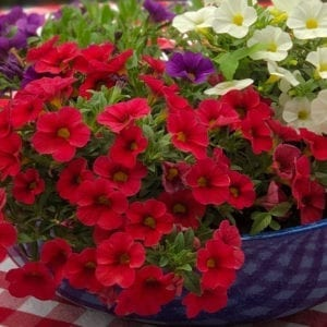 CALIBRACHOA SUPERBELLS TABLE TOP RED MILLIONBELLS